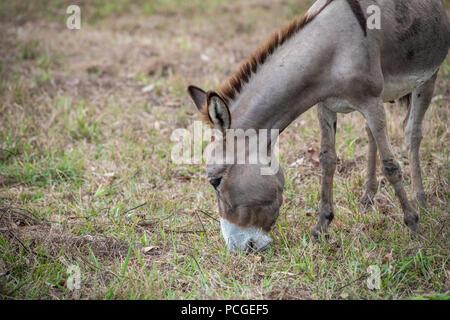 A donkey (Equus asinus) grazes on a farm in Ganta, Liberia - Stock Photo