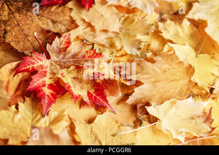 Beautiful close up image shot with colorful yellow red dry autumn fall maple leaves, fall season, view from above, card wallpaper, textured background - Stock Photo