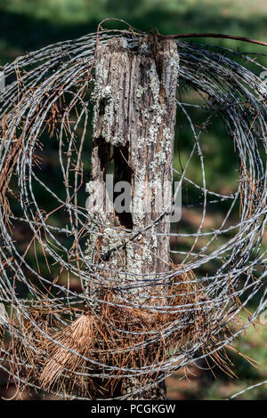 Pine needles caught in a coiled strand of barbed wire on a fence post in a pasture near Knoxville, Tennessee. - Stock Photo