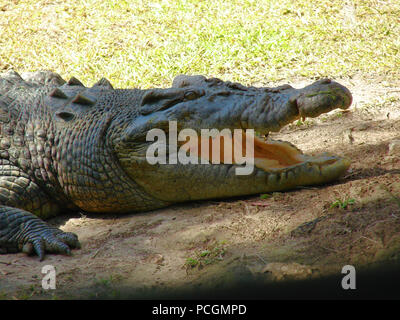 The Australian Saltwater Crocodile (Crocodylue porosus) in captivity. In the wild it is an apex predator and the largest of all living reptiles. - Stock Photo
