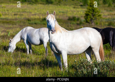 Close-up of a herd of white horses  on a green meadow, in the background a green coniferous forest and blue sky. - Stock Photo