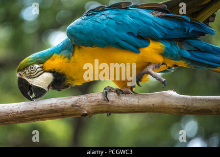 A vibrant blue-and-yellow macaw (also known as a blue-and-gold macaw) at the St. Augustine Alligator Farm Zoological Park in St. Augustine, FL. (USA) - Stock Photo