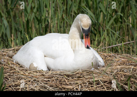 Mute swan Cygnus olor sitting on nest Abbotsbury Swannery Dorset - Stock Photo