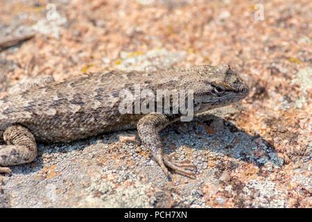 Plateau Lizard (Sceloporus undulatus), Gateway Mesa Open Space Park, on lichen covered rock, Castle Rock Colorado US. - Stock Photo