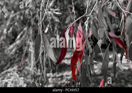 Gum leaves photographed using the red filter on a fujifilm x100f camera, Townsville, Queensland, Australia - Stock Photo