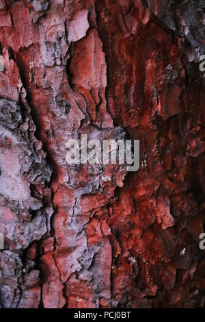 Beautiful red bark of a tree, spruce, texture, background - Stock Photo