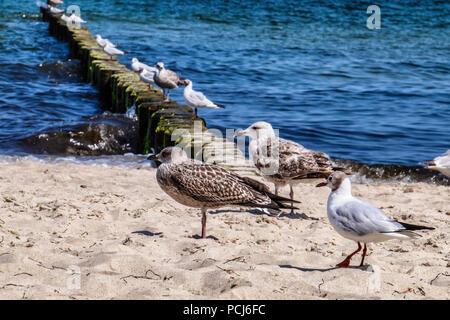Germany Loddin,Stubbenfelde Beach. Sea gull, Laridae Lari, at Coastal bathing resort on the island of Usedom on the Baltic Sea. - Stock Photo