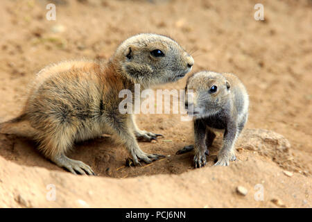 Black Tailed Prairie Dog, two youngs at den, Northamerica, (Cynomys ludovicianus) - Stock Photo