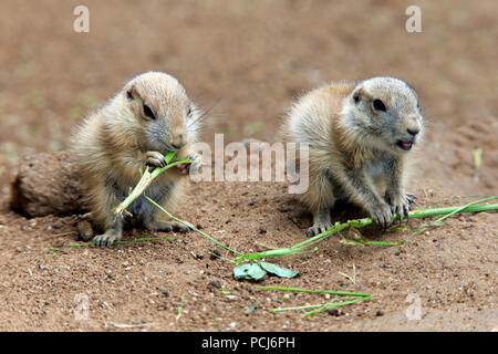 Black Tailed Prairie Dog, two youngs feeding, Northamerica, (Cynomys ludovicianus) - Stock Photo