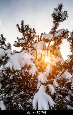 A small fir tree is covered with snow on a close-up sunset background. - Stock Photo