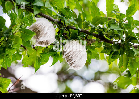 Two mysterious hairy white things having the size of a tennis ball growing on wild plum tree at Vitosha mountain near the village of Bistritza, Sofia, Bulgaria - Stock Photo