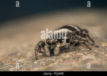 Zebra Jumping Spider (Salticus scenicus) on rock in garden. Tipperary, Ireland - Stock Photo