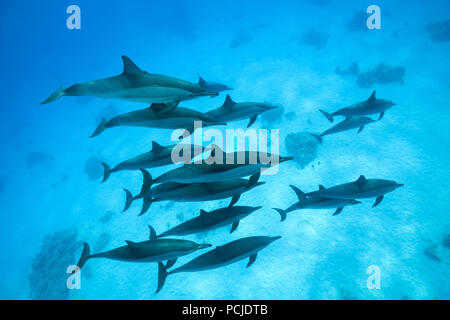 A pod of dolphins swims over sandy bottom. Spinner Dolphins (Stenella longirostris) - Stock Photo
