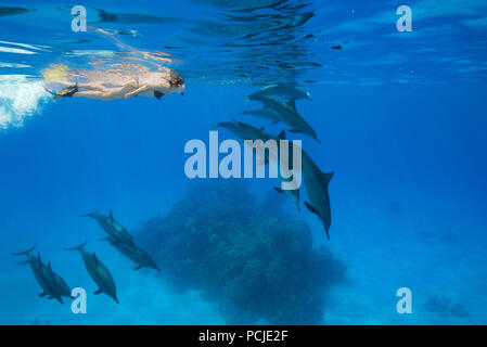A woman in a mask and fins swim and look at a pod of Spinner Dolphins (Stenella longirostris) - Stock Photo