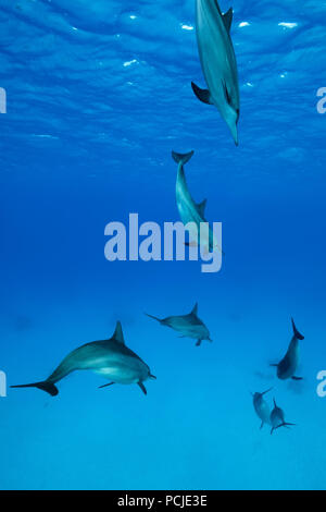 A pod of Spinner Dolphins (Stenella longirostris) swim in the blue water - Stock Photo