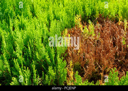 Section Dry branches on the tree Thuya ready for cutting or rejuvenation. - Stock Photo