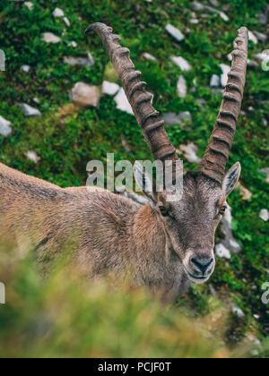 alpine capricorn Steinbock Capra ibex looking at camera, brienzer rothorn switzerland alps - Stock Photo