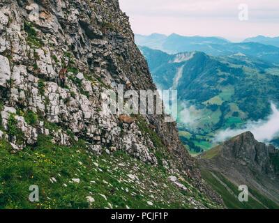 many capricorn standing on a steep rocks in the swiss alps Steinbock Capra ibex, brienzer rothorn switzerland - Stock Photo