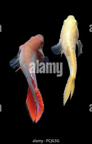 Two betta fish - Stock Photo
