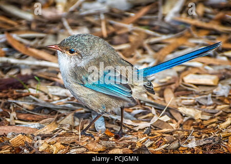 Splendid Fairy Wren on the ground, Western Australia, Australia - Stock Photo