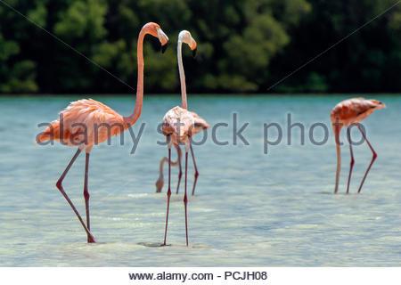 American pink flamingo - Phoenicopterus ruber - Stock Photo