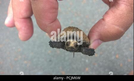 Tiny Snapping Turtle being held in fingers closeup view - Stock Photo