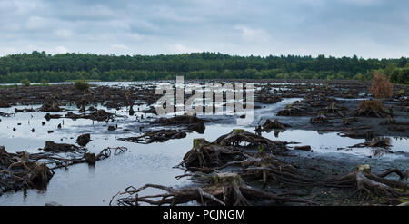 Blakemere Moss panorama in Delamere Forest, Cheshire, UK. After a long spell of hot weather the water level is low, revealing hundreds of tree stumps. - Stock Photo