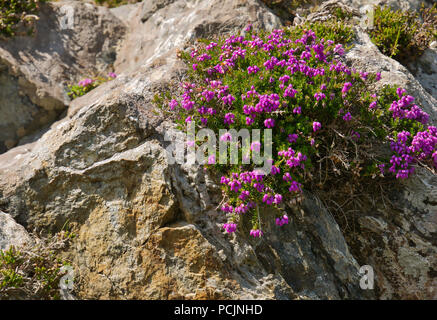 Small purple flowers between a crevice in Ireland on the west coast on a sunny day - Stock Photo