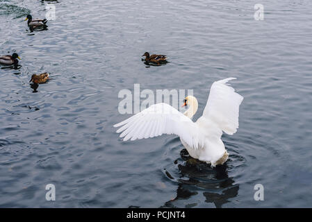 Swan Flaps Its Wing  and Few Ducks Swim on Backdrop. - Stock Photo
