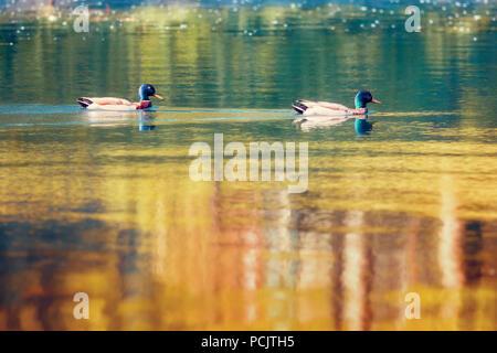 Two duck mallards Anas platyrhynchos anatidae swimming on a golden pond - Stock Photo