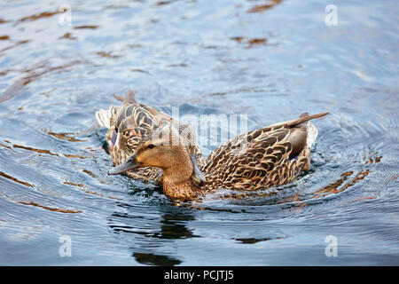 Two female mallard duck swimming on the pond. One's beak is on the neck of the other. Stock Photo