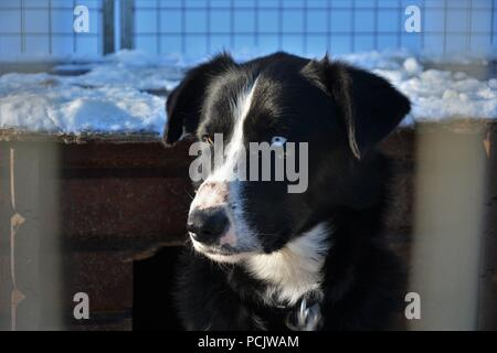 Sled dogs resting in their kennel and playing each other after a sledding tour - Stock Photo
