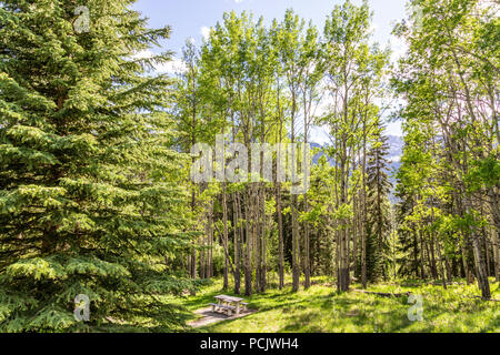 Silver birch woodland beside the Bow Valley Parkway west of Banff, Alberta, Canada - Stock Photo