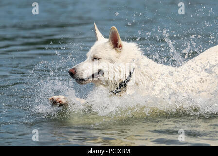 White Swiss shepherd dog jumping through water with a lot of splashing, he is happy to play in the river Rhine on a hot summer day, Germany - Stock Photo