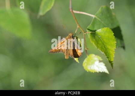 Large skipper (Ochlodes venatus) on silver birch leaf - Stock Photo