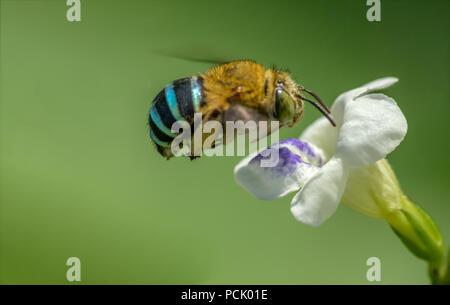 Close up Bee, Honeybee, Wasp, Hoverfly - Stock Photo