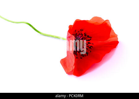 Red flower of poppy on white - Stock Photo