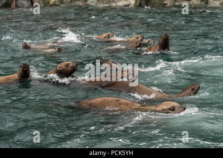 A group of Steller sea lions (Eumetopias jubatus) swimming in the ocean off the coast of Alaska, USA. - Stock Photo