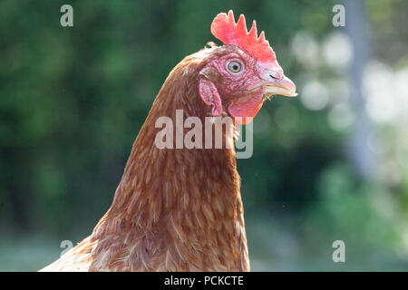Battery Hen Rescue Chickens - Stock Photo