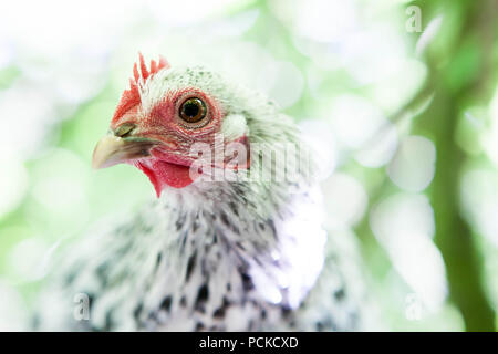 Sablepoot Hen Chicken - Stock Photo
