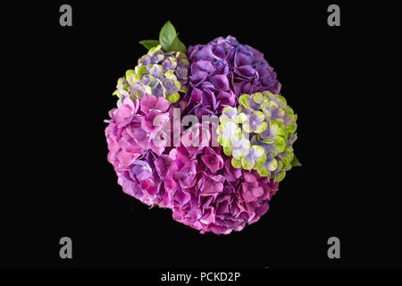 A vivid colourful (colourful) bouquet (bunch) of pink, purple and yellow Hydrangeas seen from above on a black background - Stock Photo