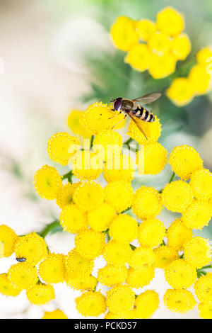 Hover fly mimicking bee on yellow flower - Stock Photo