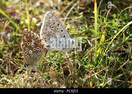 A mating pair of pretty Chalk Hill Blue Butterfly (Polyommatus coridon) perching on the ground amongst the grass. - Stock Photo