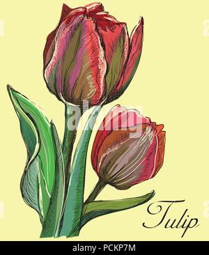 Hand drawn Tulip flower. Vector colorful illustration isolated on pink background.