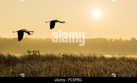 Pair of flying gray herons at sunrise, water, reeds. Ardea cinerea. Couple of wading birds in flight. Romantic landscape, forest, fog. Pond lit by sun. - Stock Photo
