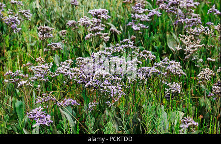 Common Sea-lavender, Limonium vulgare, on salt marsh on the North Norfolk coast at Burnham Overy Staithe, Norfolk, England, United Kingdom, Europe. - Stock Photo