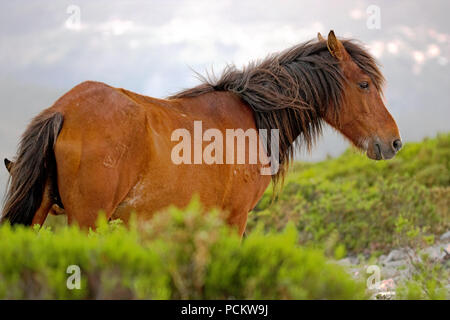 Mare grazing in a high mountain in the north of Portugal - Stock Photo