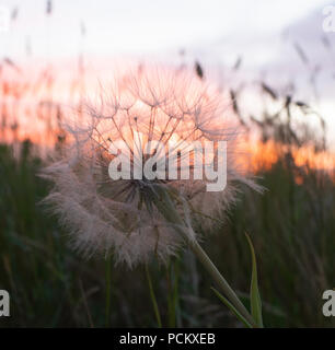 Close up of a dried dandelion flower or puff ball with grass in the foreground and a cloudy sunset in the background. - Stock Photo