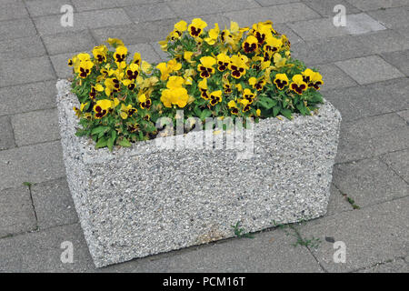 Pansies gentle yellow flowers grow in an simple concrete stone street flowerpot. - Stock Photo