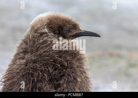 Young king penguin chick in the Falkland Islands - Stock Photo